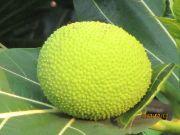 bread fruit fruit name in hindi